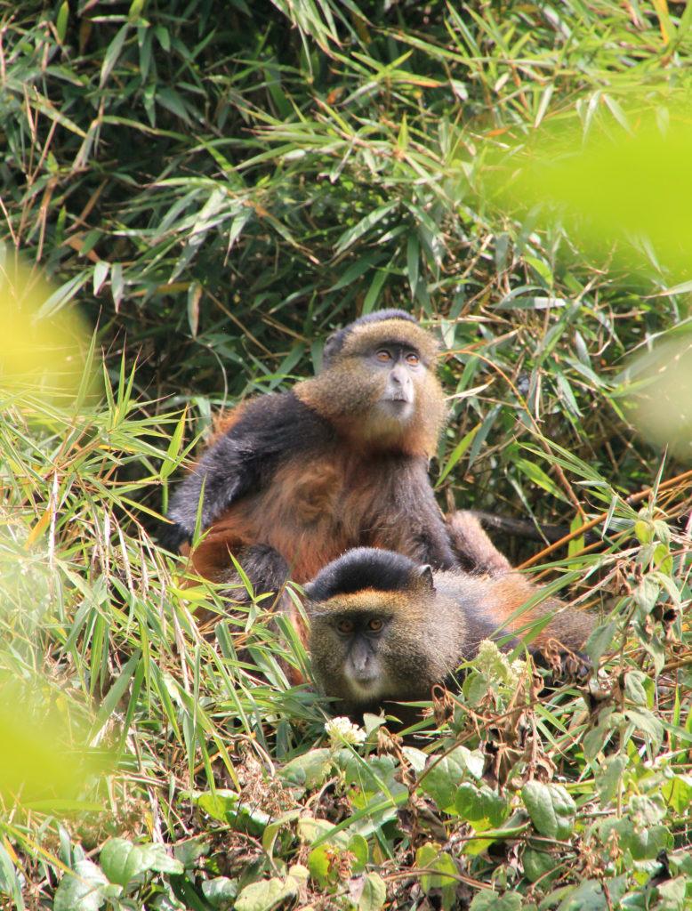 Uganda Gorilla Trekking Golden Monkey Tracking Gorilals-and-Wildlife-Safaris