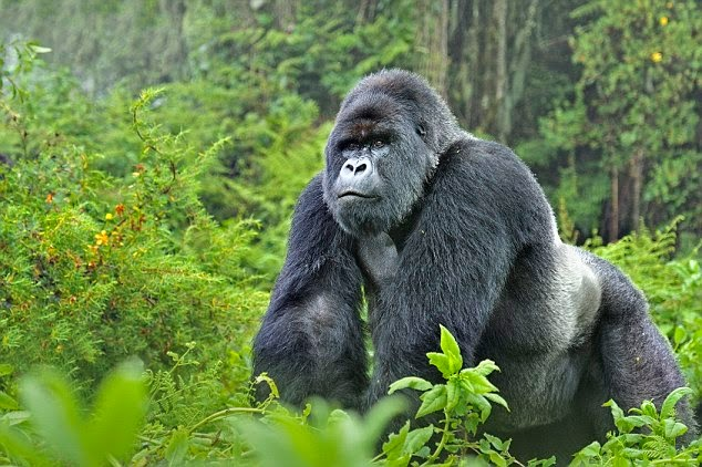 Gorillas and Wildlife Safaris Uganda gorilla tracking safari gorilla tour 2 treks