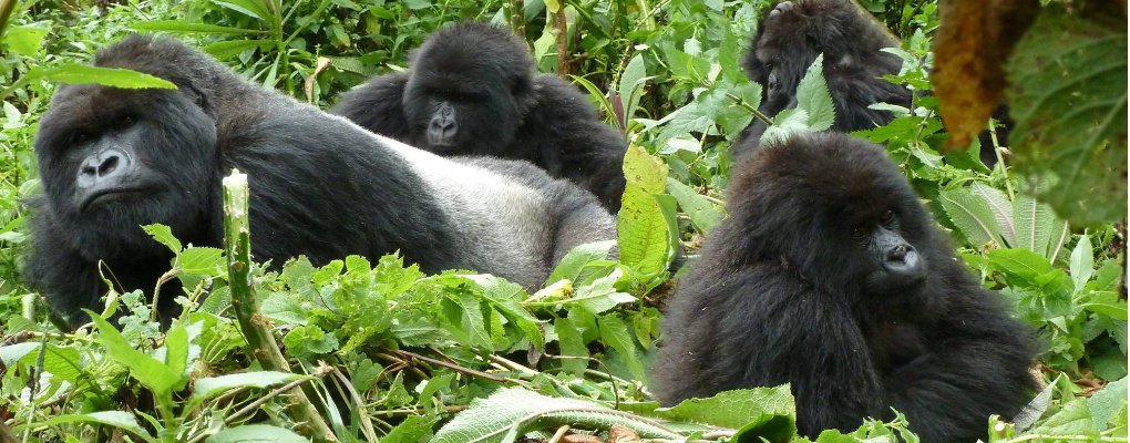 gorilla trekking uganda, affordable gorilla trek, lowest gorilla trek price US$ dollars Uganda gorilla trek and price, gorilla tracking tour price, price range gorilla trek, gorilla safari costs, uganda gorilla tracking safari, budget gorilla safari, uganda gorilla tour, uganda gorilla trek, gorilla permits uganda, gorilla tracking bwindi, luxury gorilla tour, uganda tour agent, primates uganda, private gorilla tour uganda