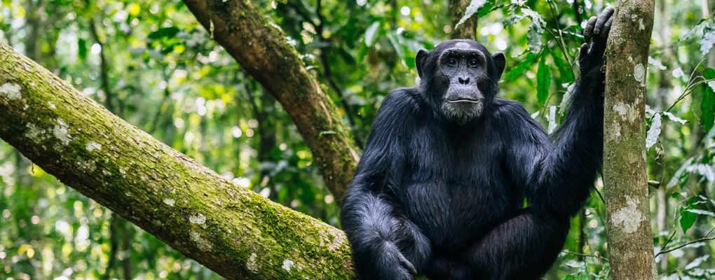 Kibale chimpanzee- uganda gorilla tracking chimpanzee