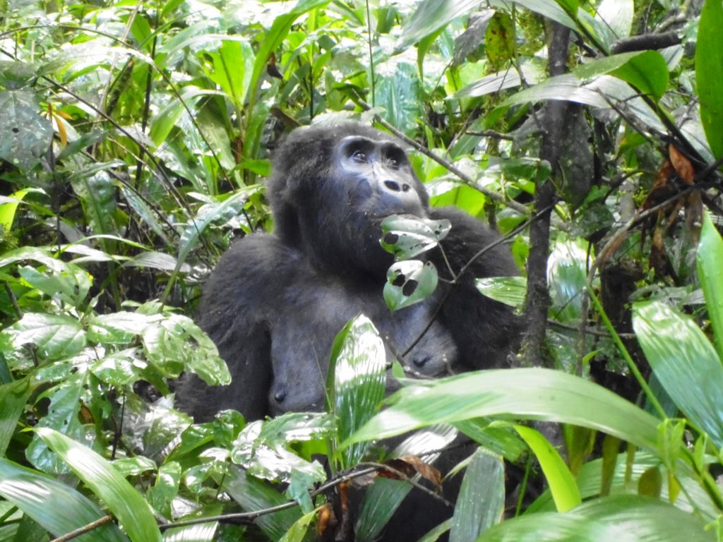 Bwindi mountain gorilla feeding on leaves - Uganda - Chimpanzee in Kibale - Tour Itinerary for Uganda Chimpanzee, Wildlife Safari & Gorilla Trek Tour- 7 Days