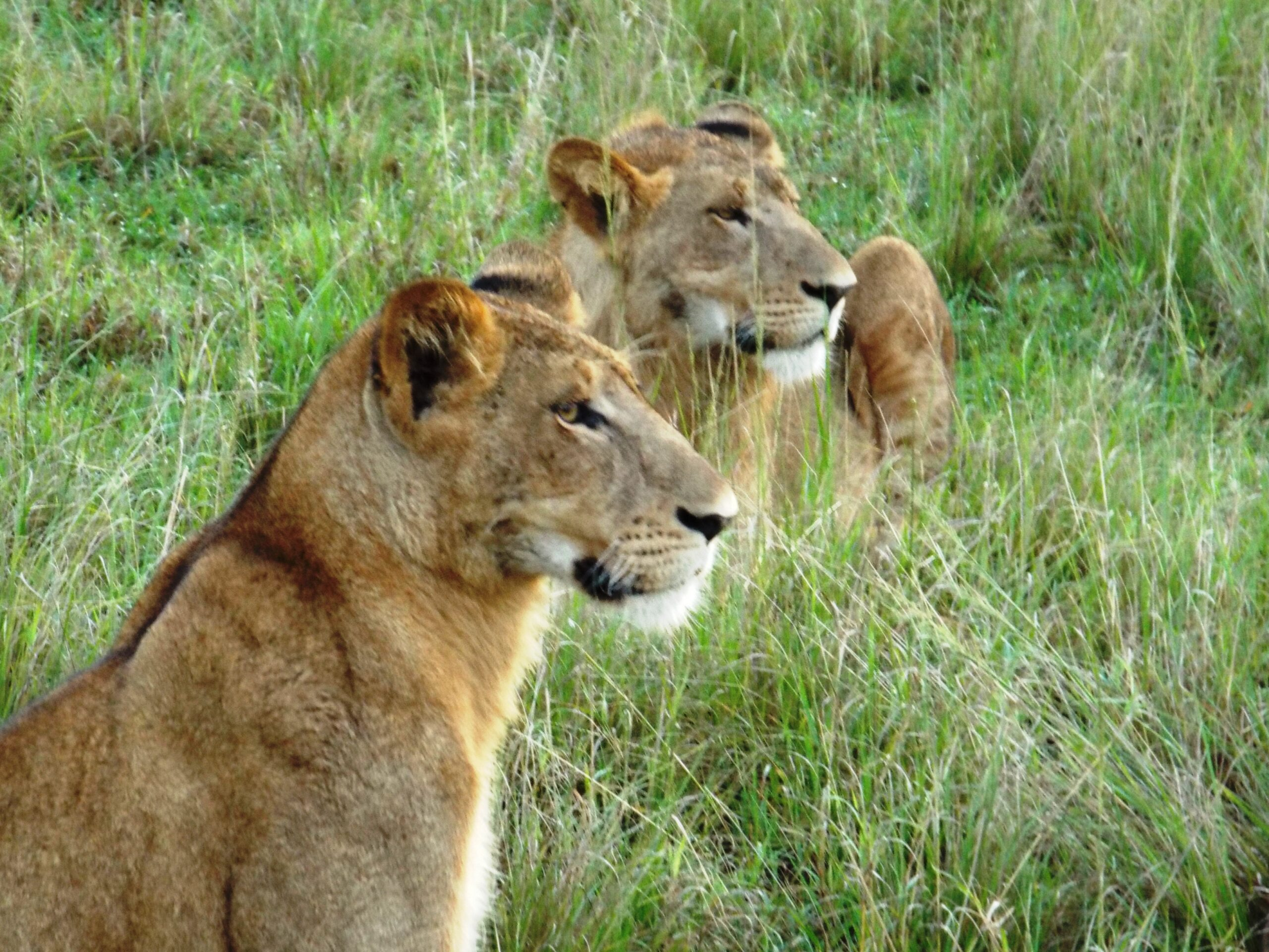 Queen Elizabeth National Park Lion - Uganda Gorilla Trekking Wildlife Chimps Safari