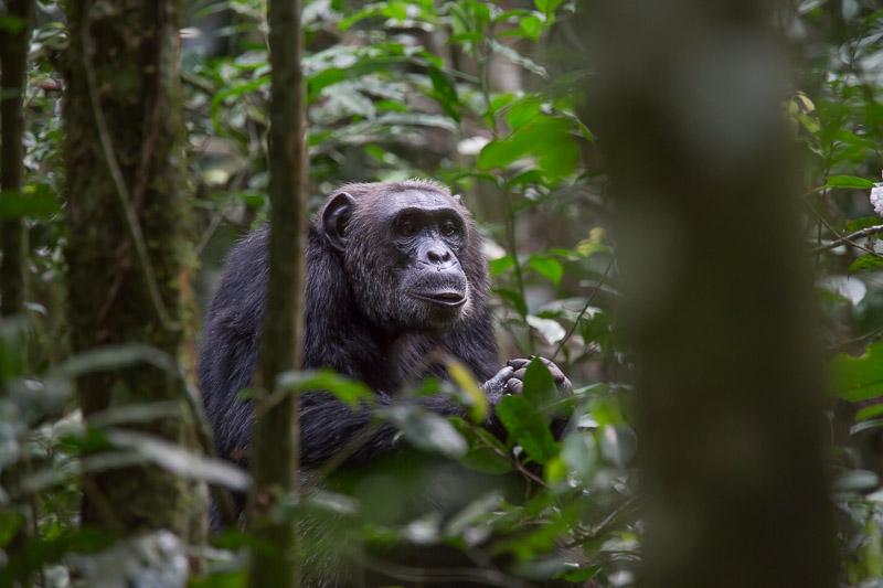 Chimpanzee in Kibale - Tour Itinerary for Uganda Chimp, Wildlife Safari & Gorilla Trek Tour- 7 Days