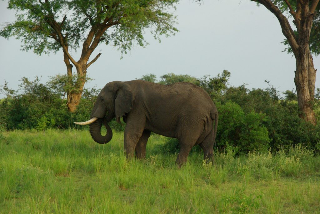 Elephant in Queen Elizabeth NP Uganda Gorilla Trekking Wildlife Safari in Lake Mburo & Queen Elizabeth NP, Kyambura Chimps trek- 6 Days