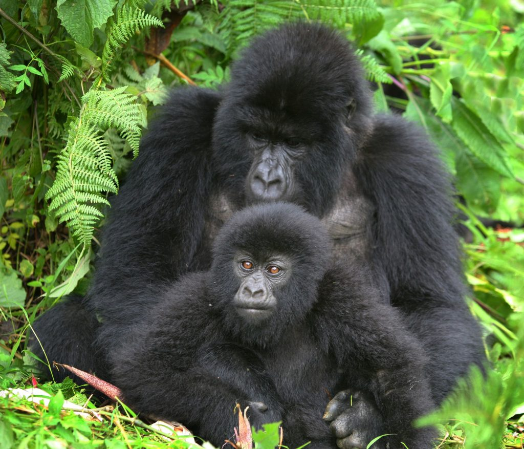 Mountain Gorillas in Bwindi on Best of Uganda Wildlife and Primates Safari