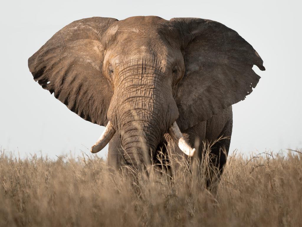 Elephant in Murchison Falls National Park on the Best of Uganda Wildlife Primates Safari