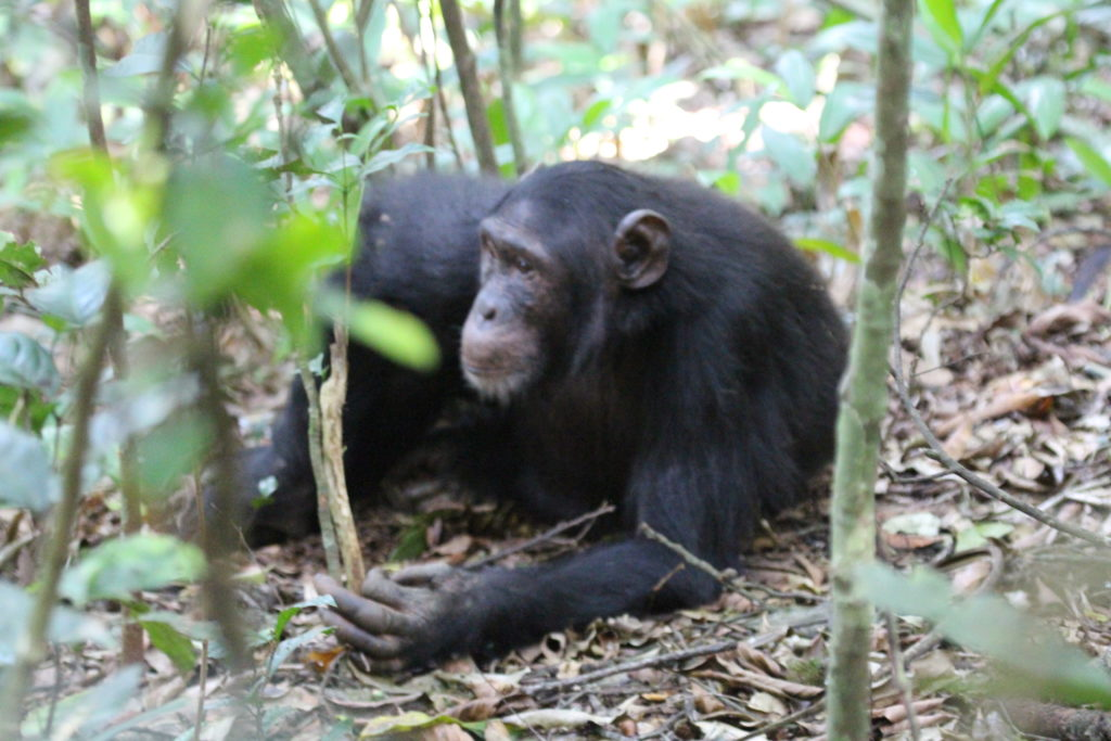 Chimps habiuation exoerience tours Uganda Kibale Gorillas and Wildlife Safaris