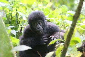 Gorilla in Bikingi gorilla family for gorilla habituation experience tour in Bwindi