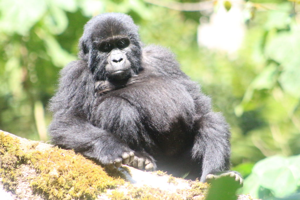 Bikingi Gorilla Family member - for Gorilla Habituation Experience Bwindi Gorillas and Wildlife Safaris