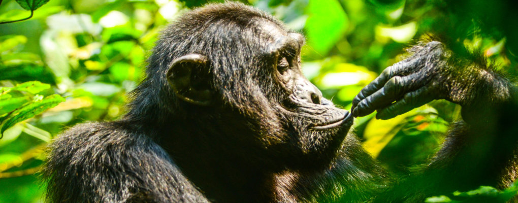 The ultimate Ugandan Fly in Primates Tour.  Flit around Uganda's primates from gorilla trekking in Bwindi to chimps tracking in Kibale in a teeny-tiny plane with more 11 other primates in our Uganda Fly-in Gorilla Trek Chimps Tracking - 5 Days Gorillas and Wildlife Safaris.