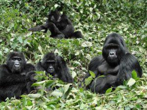 Uganda Gorillas & Chimpanzee Tracking Safari Gorillas and Wildlife Safaris