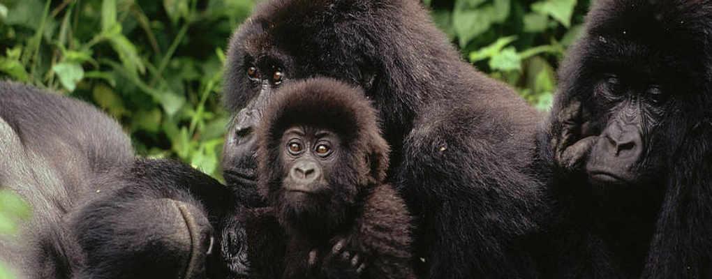 Best of Rwanda gorilla tracking chimps primates trek tour