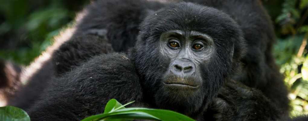 Rwanda Gorillas and chimpanzee tour Big Primates safarii - gorillas and wildife safaris