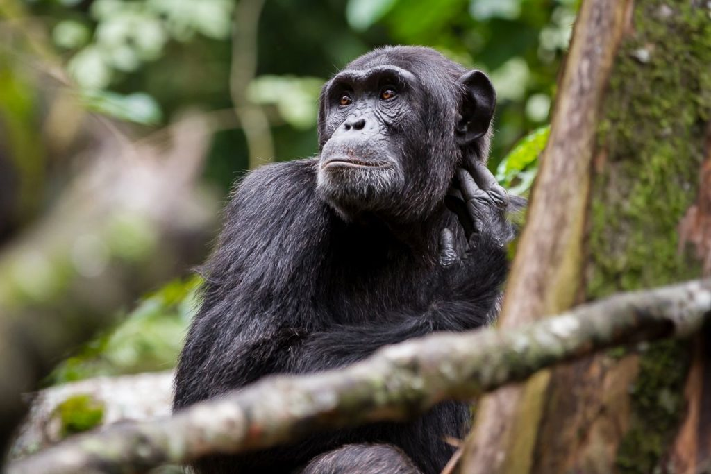 Chimpanzee tracking Uganda Gorilla Trekking, Wildlife Safari in Lake Mburo & Queen Elizabeth NP, Kyambura Chimps trek- 6 Days