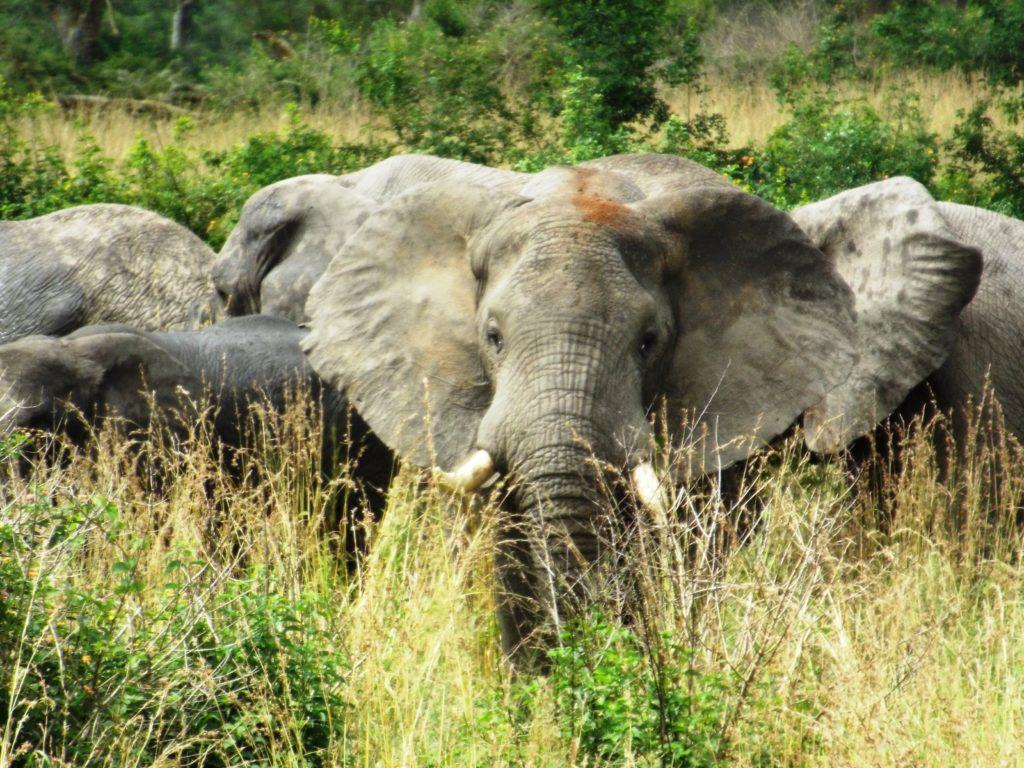 Elephants in Queen Elizabeth National Park