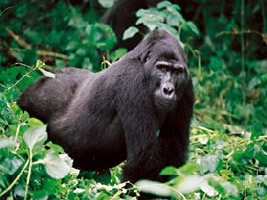 Gorilla Tracking Gorillas and Wildlife Safaris Rafting Climbing Adventure tour Gorillas and Wildlife Safaris Uganda gorilla trek and price