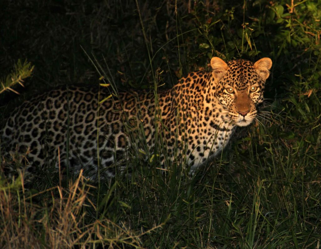 Leopard in Queen Elizabeth National Park - Affordable Uganda Gorilla Trekking Wildlife Chimps Safari