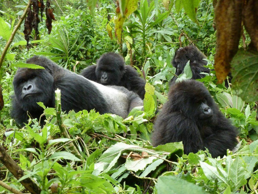 Silverback Mountain Gorillas in Bwindi - All inclusive Gorillas and Wildlife Safaris