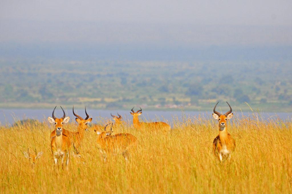 Uganda kobs in Queen Elizabeth National Park - All inclusive Gorillas and Wildlife Safaris