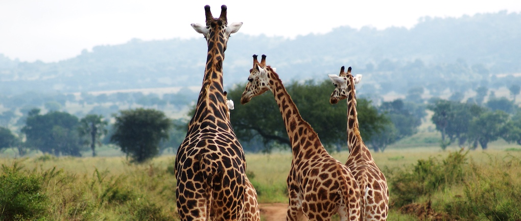 uganda safari kidepo wildlife giraffes