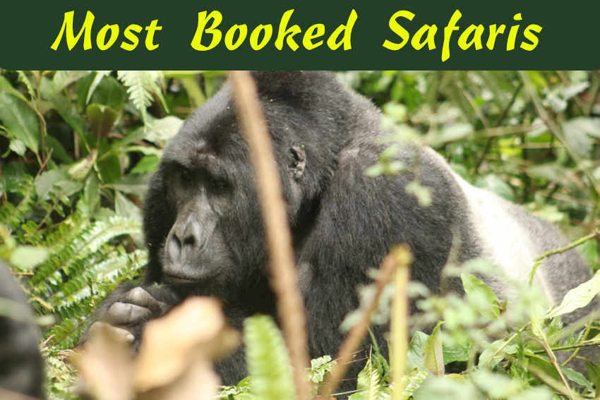 Book-Gorilla-Trekking-Safaris