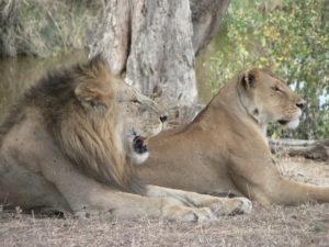 Lions in Serengeti gorilla Uganda safari