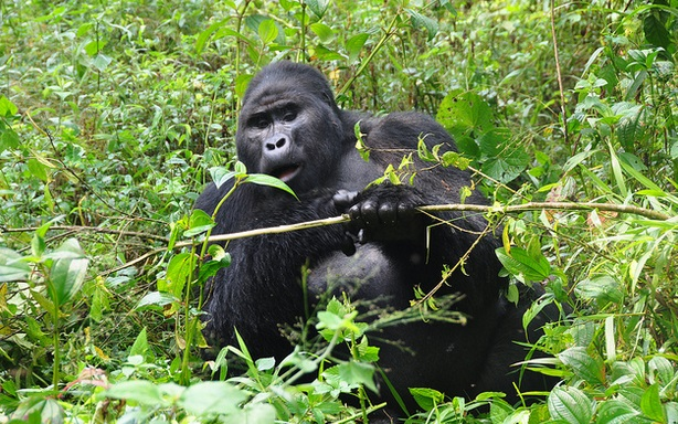 2020 Uganda Gorilla permit Price to Increase to USD700  Effective  1st July 2020, the gorilla permit price for Uganda is set to increase from USD600 to USD700 for foreign non residents and USD600 for foreign residents in East Africa. For East African citizens the cost still remains at Uganda shillings 250000 per person. Gorillsas and Wildlife Safaris