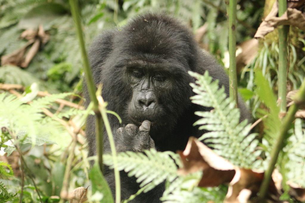 Best Time To Visit Uganda, When To Go For Gorilla Trekking Safar Gorillas and Wildlife Safarisi