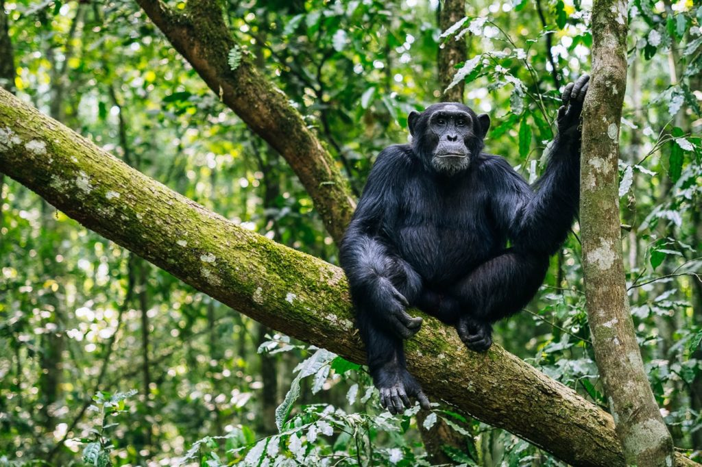 Kibale chimps Uganda flight safaris flying tours uganda Gorillas and Wildlife Safaris