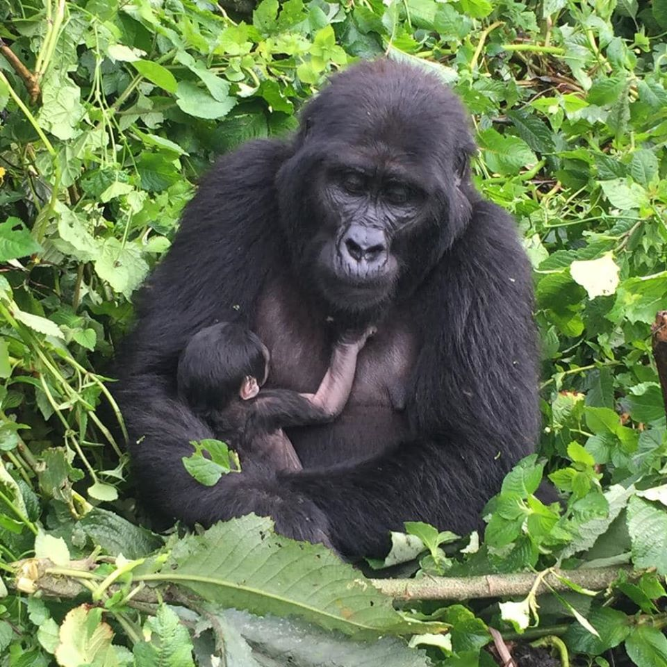Bwindi gorilla population Uganda mountain gorillas census Gorillas and Wildlife Safaris