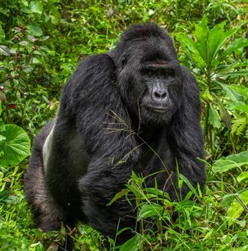 Nkuringo Gorilla Family Loses 25 Year Old Lead Silverback - Rafiki died on June 01, 2020
