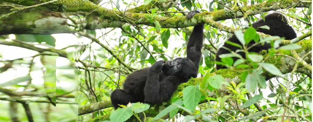 Bwindi Gorillas on the Rwanda Uganda Gorilla Trekking Safari