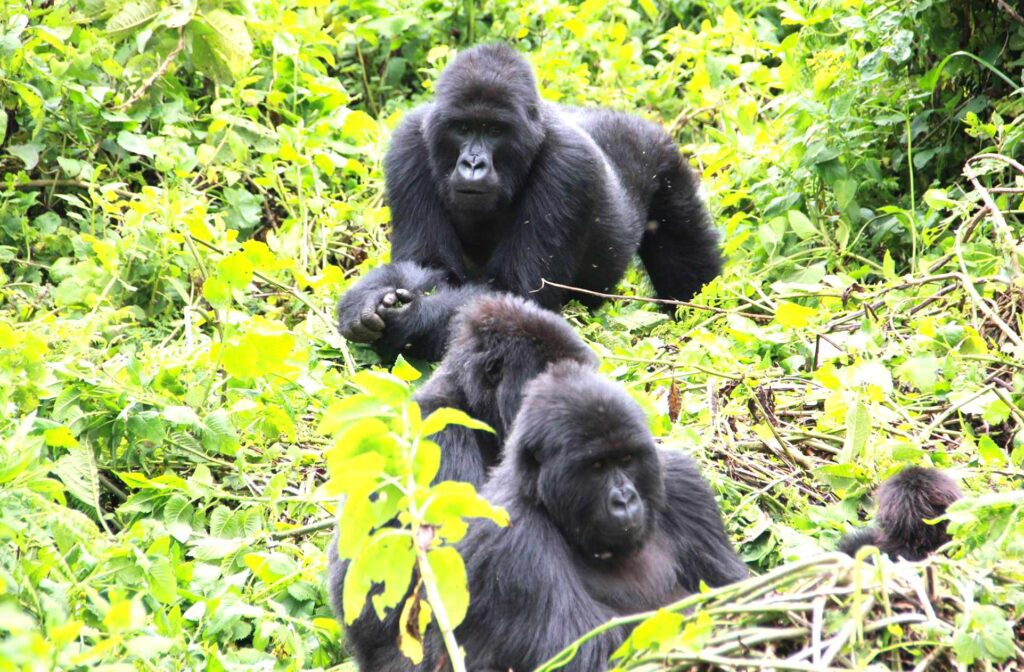 A Uganda gorilla group in Bwindi - Gorilla tracking chimpanzee trek tour