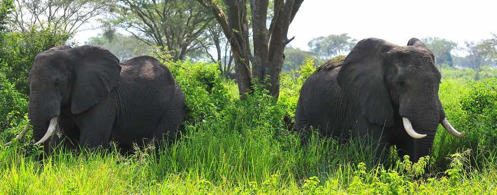 elephants in Queen Elizabeth National Park - All Inclusive Uganda Rwanda Safari