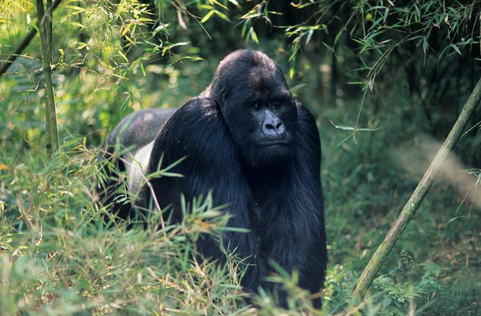 Silverback gorilla in Rushaga, Bwindi - cost of a Gorilla Trek Tour for Uganda or Rwanda Safari