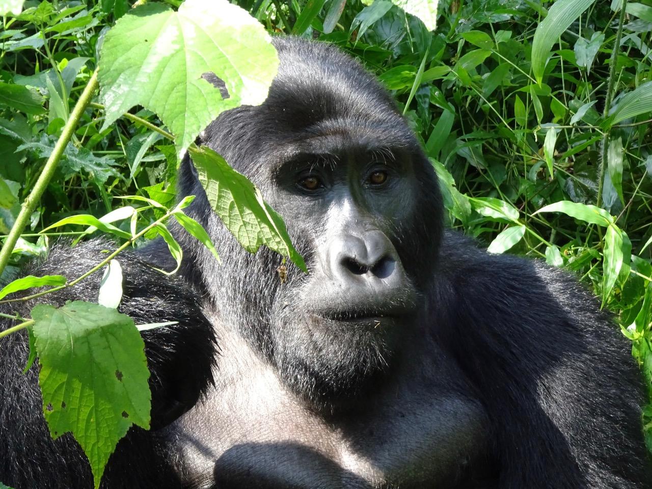 Silverback Mountain Gorilla in Bwindi Uganda gorilla permits discount 2021 promotion