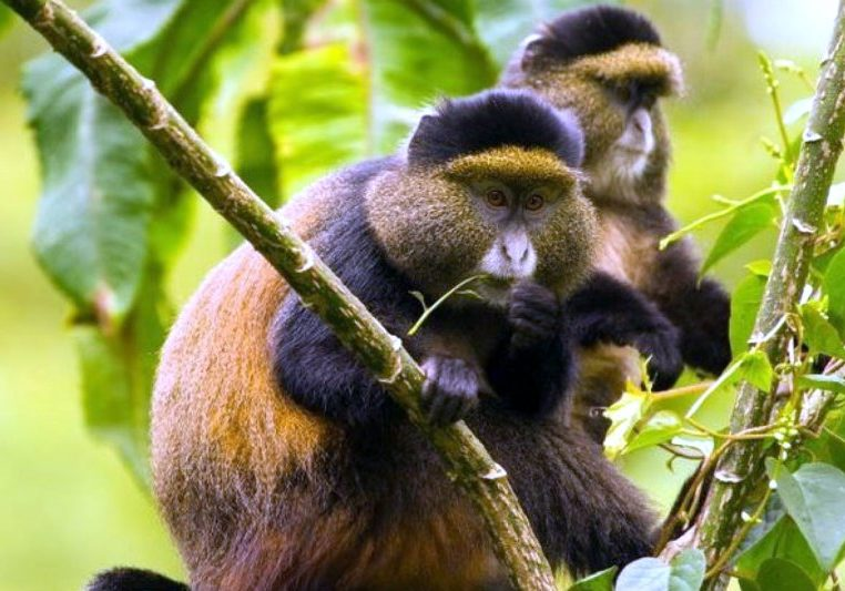 Uganda Gorilla Trekking Golden Monkey Tracking Golden monkey habituation experience gorilla primate chimps habituation tour safari uganda Gorillas and Wildlife Safaris