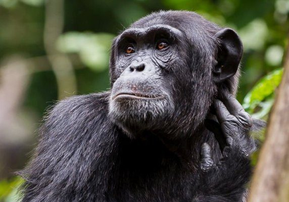 Uganda fly-in primates safari trekking gorillas chimps monkeys Affordable gorillas and Wildlife Safaris