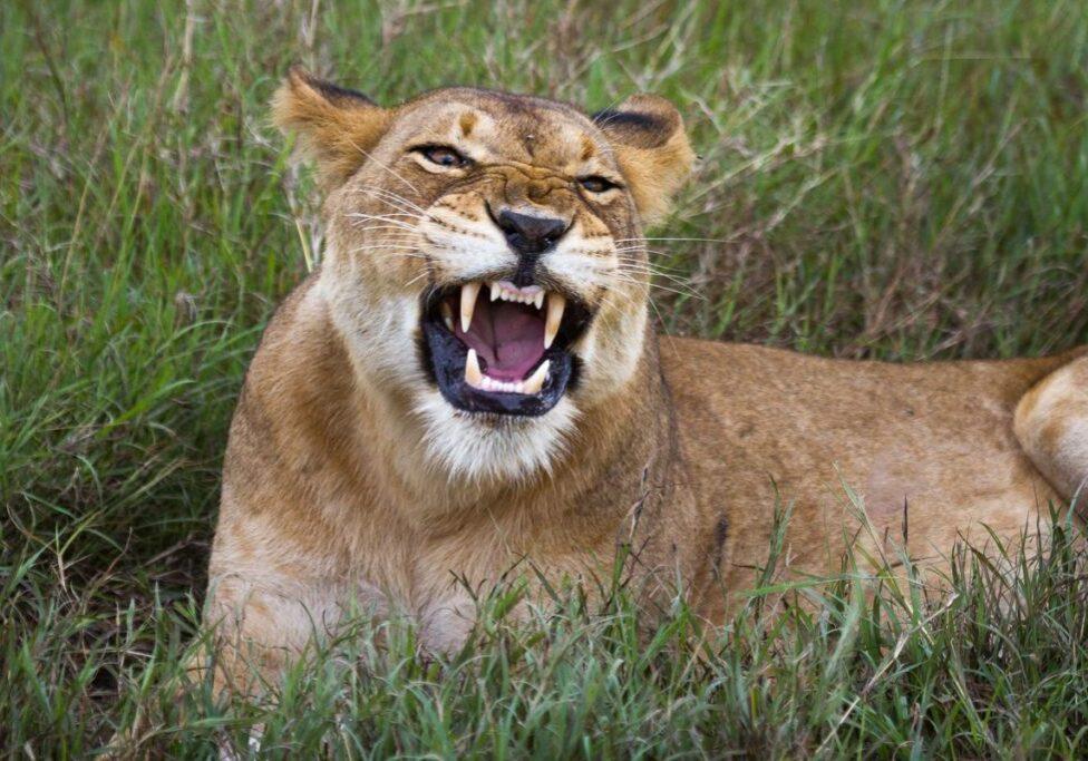 Lion in Queen Elizabeth NP ALL-INCLUSIVE UGANDA GORILLAS, PRIMATES WILDLIFE SAFARI- 9 DAYS