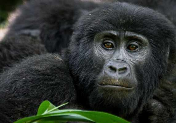 Rwanda Gorillas and chimpanzee tour Big Primates safarii - gorillas and wildife safaris