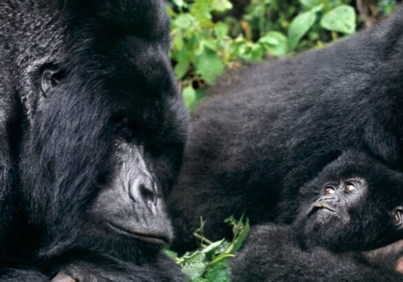 Uganda Gorilla Habituation Experience, Chimps & Monkeys Habituation, Lions Tracking Safari - 8 Days