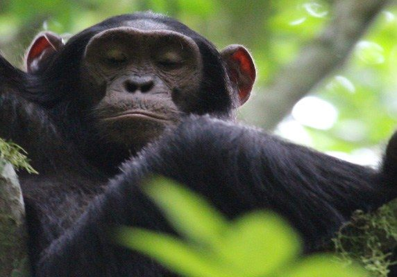 Uganda gorilla primate wildlife safari 8 days Gorillas and Wildlife Safari