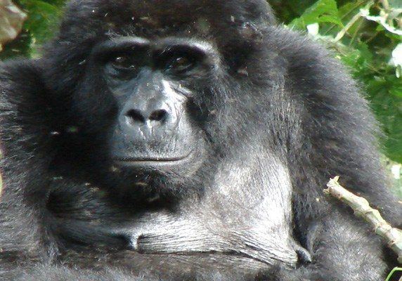 Uganda chimpanzee gorilla habituation experience tour