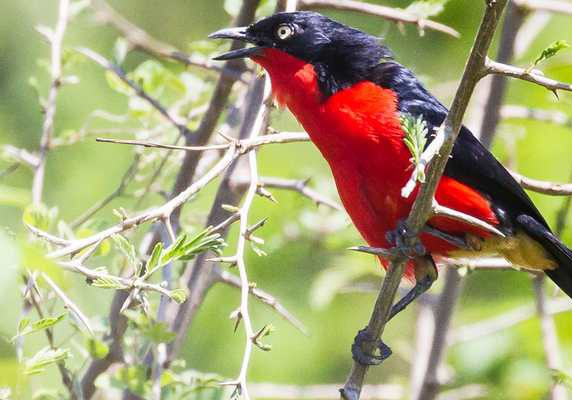 Black-headed gonolek, Uganda