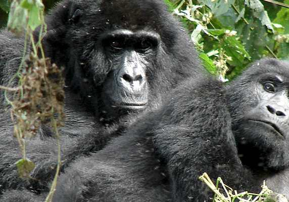 Pair of gorillas, Bwindi Impenetrable Forest, Uganda Gorilla Trekking Wildlife Chimps Safari - 6 Days