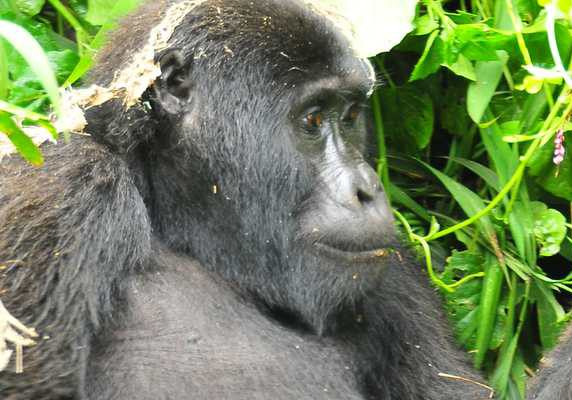 Uganda Gorilla chimp wildlife safariGorilla from Rushegura family, Bwindi, book Uganda gorilla permits, book gorilla permits, book gorilla uganda gorilla chimp primates tour