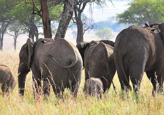 Elephant herd, Uganda fly kidepo safari flying kidepo tour gorillas and wildlife safaris