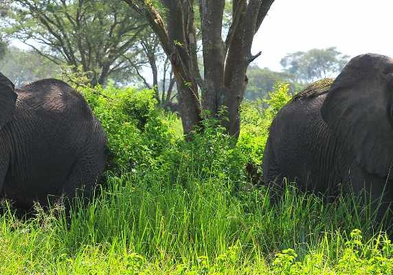 elephants in Queen Elizabeth National Park - All Inclusive Uganda Rwanda Safari