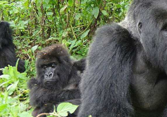 Bwindi gorilla habituation experience tour Gorillas and Wldlife Safaris