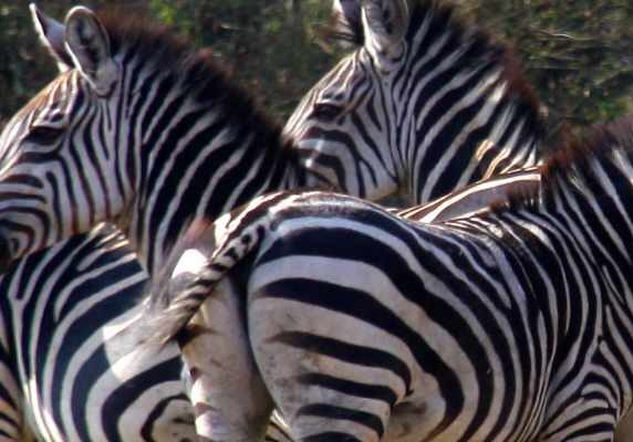 Lake Mburo Zebras as seen on the 10 Days Uganda and Rwanda Safari -  Gorillas, More Primates and Wildlife Experiences